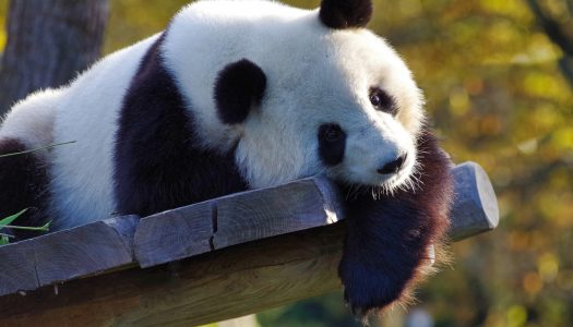 Jora Vision to design and build immersive museum at Chengdu Giant Panda Breeding Research Base
