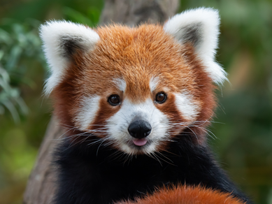 Plans submitted to introduce red panda to West Midland Safari Park